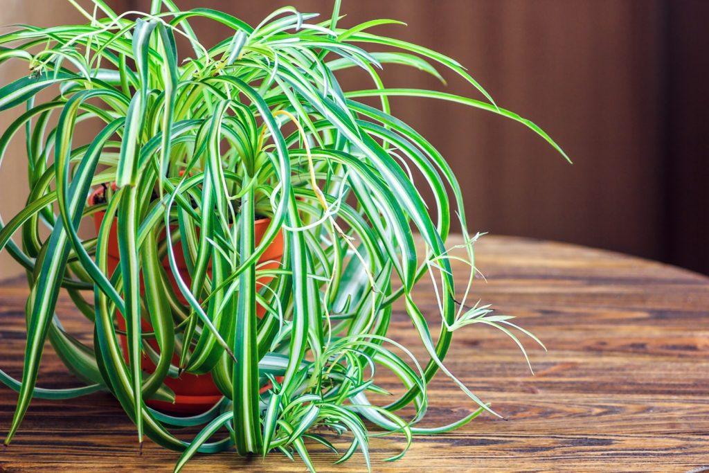 Spider plant and Insomnia